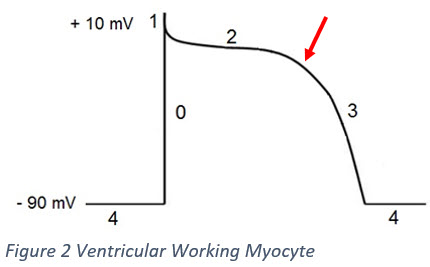 Action Potential - Onset of Phase 3